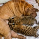 Dogs for Causes: Shar Pei Dog Nurses Two Abandoned Siberian Tiger Cubs